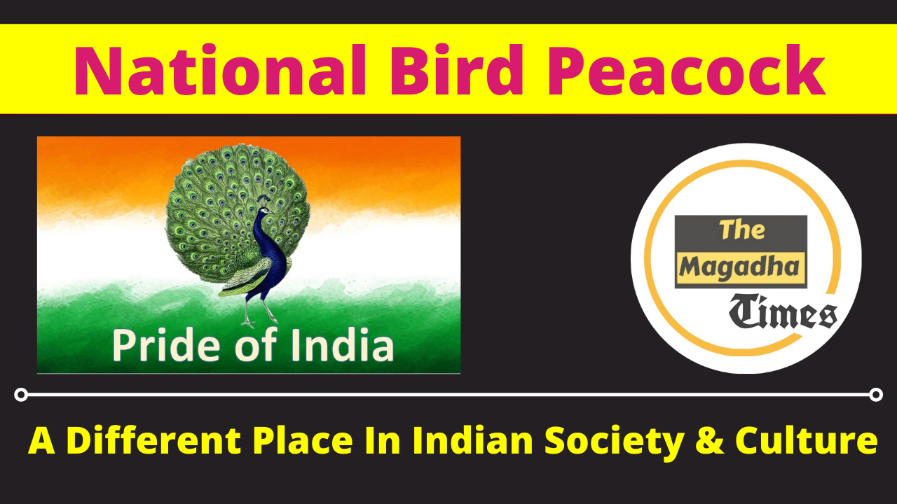 National Bird Peacock: A Different Place In Indian Society & Culture